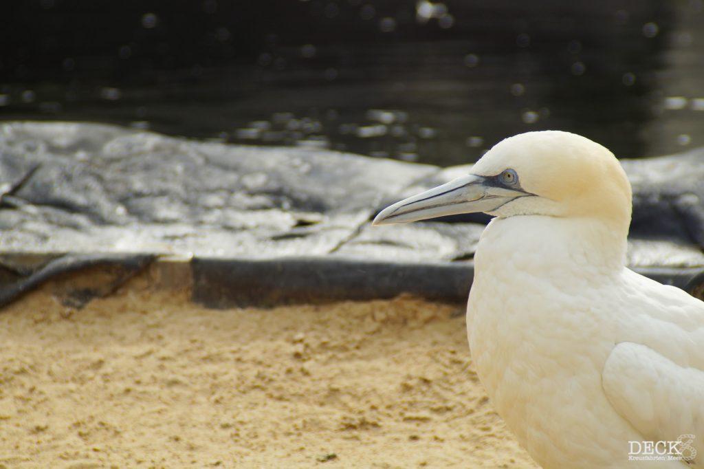 Basstölpel im Zoo am Meer in Bremerhaven als Symbolbild für Helgolands Vogelwelt.